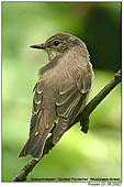Spotted Flycatcher - Spotted Flycatcher
