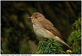 Spotted Flycatcher - On a yew