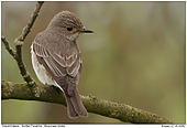 Spotted Flycatcher - Spotted Flycatcher