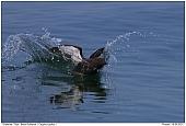Black Guillemot - Black Guillemot landing