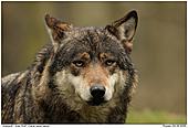 Grey Wolf - Gray Wolf