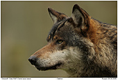 Gray Wolf - Wolf