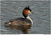 Great Crested Grebe - Male Great Crested Grebe