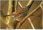 Dunnock - Almost always in the thicket