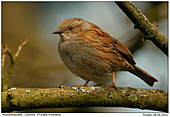 Dunnock - Dunnock or Hedge Sparrow