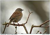 Dunnock - Dunnock in the backlight