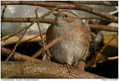 Dunnock - Camouflage