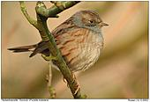 Dunnock - Cute Bird