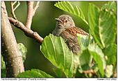 Dunnock - Colourful eyes