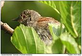 Dunnock - Hidden in the bushes