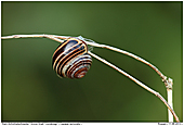 Wood Snail Grove Snail - Wood Snail