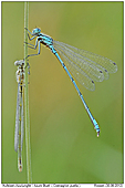 Azure Bluet - Azure Bluet Male and Female