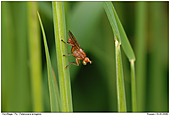 Tetanocera arrogans - Fly T arrogans