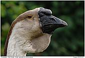 Knob Goose - Knob Goose