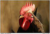 Chicken - Mr. Morsch