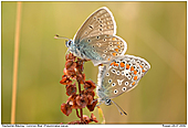 Common Blue - Common Blues