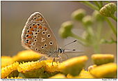 Common Blue - Common Blue on Tansy