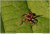 Deer Louse Flies - Deer Louse Fly