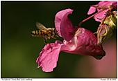 Honey Bee - Honey Bee