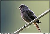 Black Redstart - Black Redstart