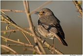 Black Redstart - Female Black Redstart