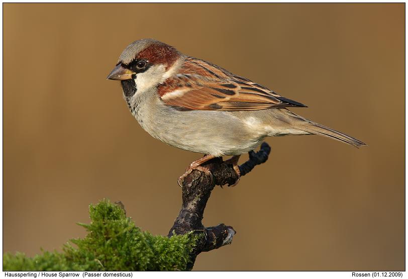 house sparrowphotos digitalnaturephotography photo