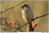 House Sparrow - In the dog roses
