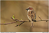 House Sparrow - Male House Sparrow