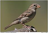 House Sparrow - Female House Sparrow