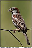 House Sparrow - Male House Sparrow
