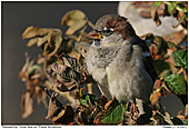 House Sparrow - October Sun