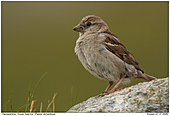 House Sparrow - House Sparrow