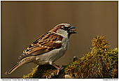 House Sparrow - House Sparrow with Seed