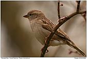 House Sparrow - A female House Sparrow