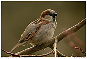 House Sparrow - House Sparrow