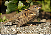 House Sparrow - Juvenile House Sparrow