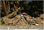 House Sparrow - House Sparrow Feeding Chick