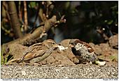 House Sparrow - House Sparrow Feeding Juvenile