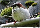House Sparrow - At the gutter