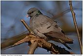 Stock Dove - Stock Dove