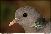 Stock Dove - Stock Dove - Portrait