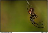 Autumn Spider - Female Autumn Spider