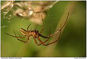Autumn Spiders - Autumn Spider - Male