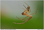 Autumn Spider - Autumn Spider in Backlight