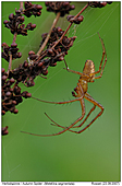 Autumn Spider - Autumn Spider - Male