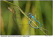 Azure Damselfly - Shadow Stretch-spider catches Azure Damselfly