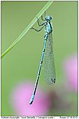 Azure Damselfly - Azure Bluet