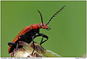 Red-headed Cardinal Beetle - Red-headed Cardinal Beetle