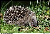 Hedgehog - Eating Hedgehog