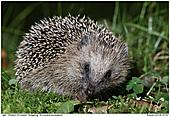 Western European Hedgehog - Hedgehog
